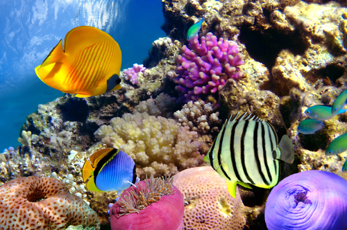Coral reef and tropical fishes in Red sea